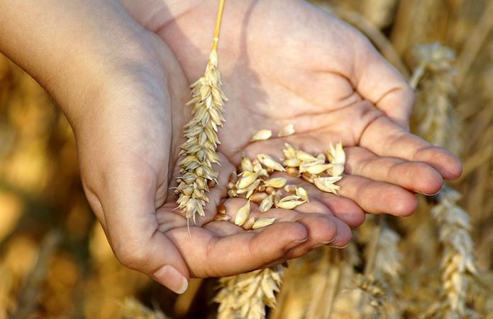 Ціни на українську пшеницю досягли 300 $ / т